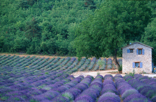 Lavender in French Provence