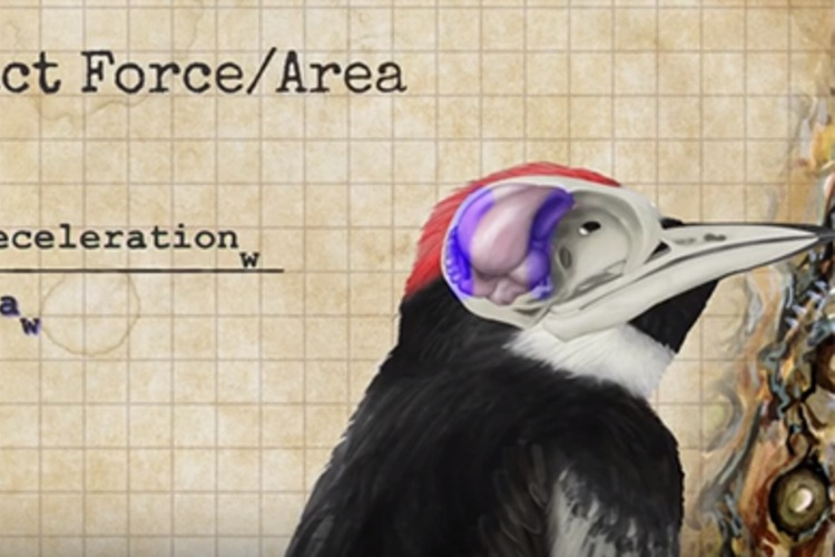 why don�t woodpeckers get concussions alummitedu